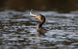 Grote aalscholver, Phalacrocorax-carbo stock fotografie