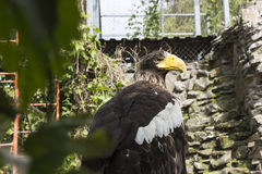 Grote adelaar in de dierentuin Stock Afbeelding