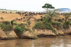 Grote Afrikaanse migratie Landschap op Mara River met grote kudden van meest wildebeest Kenia stock foto's