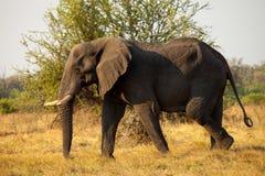 Grote Afrikaanse Olifant Royalty-vrije Stock Fotografie