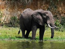 Grote Afrikaanse Olifant stock foto