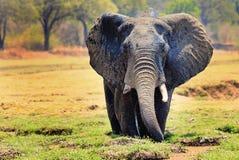 Grote Afrikaanse olifanten met uitgebreide oren status in alush groene lagune in het nationale park van zuidenuangwa, Zambia stock afbeelding