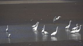 Grote Aigrette stock video