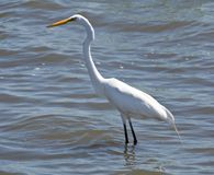 Grote Aigrette (2) Royalty-vrije Stock Afbeelding