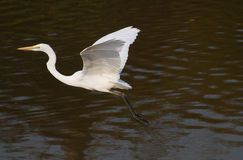 Grote aigrette Royalty-vrije Stock Afbeelding