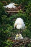 Grote Aigrette (alba ardea) Royalty-vrije Stock Afbeeldingen