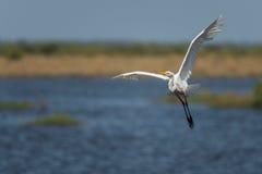 Grote Aigrette alba Ardea stock foto's