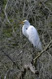Grote Aigrette in Boom Stock Afbeelding