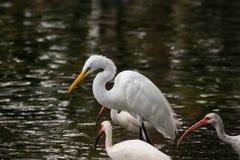 Grote Aigrette boven Andere Vogels royalty-vrije stock afbeeldingen