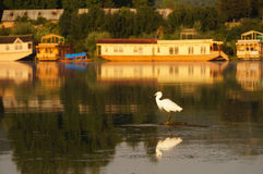 Grote aigrette in Dal Lake, Srinagar, Kashmir, India Stock Afbeelding