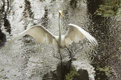 Grote aigrette die met grote vleugels uitgespreid in everglades waden Royalty-vrije Stock Fotografie
