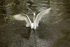 Grote aigrette die op het water met uitgespreide vleugels landen, Florida Royalty-vrije Stock Afbeelding