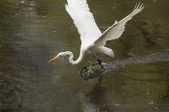 Grote aigrette die op het water met uitgespreide vleugels landen, Florida Stock Foto