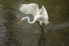 Grote aigrette die op het water met uitgespreide vleugels landen, Florida Royalty-vrije Stock Fotografie