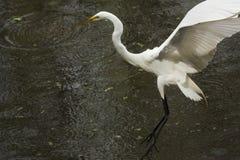 Grote aigrette die op het water met uitgestrekte vleugels landen, Overladen Stock Fotografie