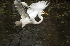 Grote aigrette die over water met vissen in zijn rekening vliegen Royalty-vrije Stock Afbeelding