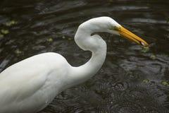 Grote aigrette die zich met een vis in zijn rekening, Florida bevinden Royalty-vrije Stock Foto