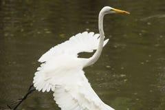 Grote aigrette die zich met een vis in zijn rekening, Florida bevinden Stock Foto