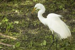 Grote aigrette die zich met een vis in zijn rekening, Florida bevinden Royalty-vrije Stock Foto's