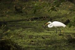 Grote aigrette die zich met een vis in zijn rekening, Florida bevinden Royalty-vrije Stock Afbeelding