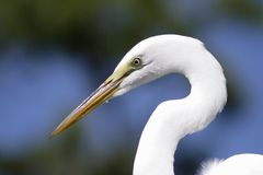 Grote Aigrette Florida Stock Afbeelding