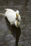 Grote aigrette met een donderpadkatvis in zijn rekening, Florida Royalty-vrije Stock Fotografie