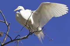 Grote aigrette met uit vleugel Stock Foto