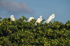 Grote Aigrettes in een Vogel het Nestelen Grond in Everglades Florida Royalty-vrije Stock Afbeelding