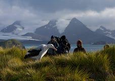 Grote Albatros, альбатрос Snowy (бродяжничать), Diomedea (exulans) стоковые фото