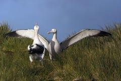 Grote Albatros, albatroz (de vagueamento) nevado, Diomedea (exulans) fotos de stock