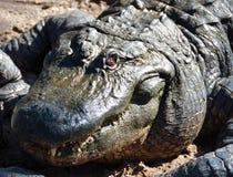 Grote Alligator royalty-vrije stock afbeeldingen