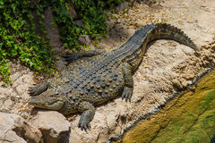 Grote Alligator Stock Foto's