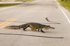 Grote alligator die de weg kruist Stock Fotografie
