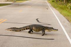 Grote alligator die de weg kruist Stock Foto's