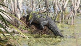 Grote alligator die in het moeras van Florida zonnebaden stock footage