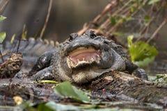 Grote Alligator met mond open tonende scherpe tanden stock foto's