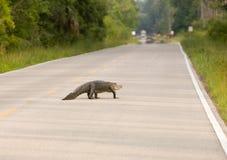 Grote alligator op de weg stock fotografie