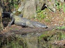 Grote Alligator op een Bank van de Rivier Royalty-vrije Stock Afbeelding
