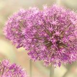 Grote alliumbloemen Stock Foto's