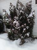 Grote altijdgroene struik tegen huis in sneeuw royalty-vrije stock afbeelding