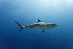 3 grote amblyrhynchos die van Carcharhinus van Ertsaderhaaien boven koraalrif zwemmen Stock Afbeelding