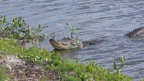 Grote Amerikaanse alligator in een meer stock videobeelden