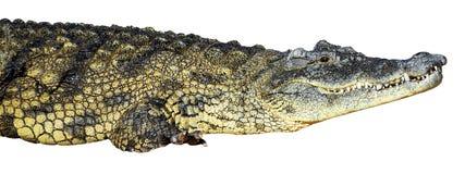 Grote Amerikaanse krokodil Royalty-vrije Stock Foto