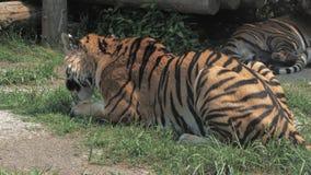 Grote amurtijger die schoonmaken Panthera Tigris, leggend in het gras, likkend zijn poot en gladstrijkend stock footage