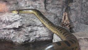 Grote anaconda stock video