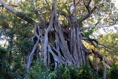 Grote Banyan-Boom op Lord Howe Island Stock Afbeeldingen