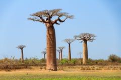 Grote Baobab Stock Afbeeldingen