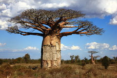 Grote baobaboom in savanne, Madagascar Royalty-vrije Stock Afbeelding