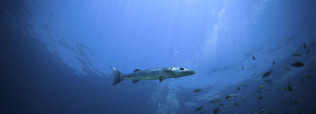 Grote Barracuda Royalty-vrije Stock Foto