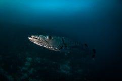 Grote Barracuda Stock Foto